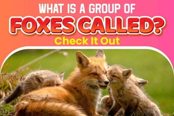 What Is A Group of Foxes Called