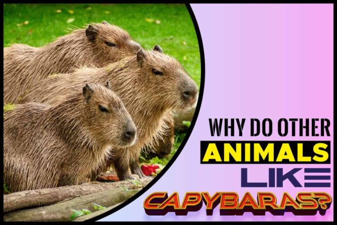 Why Do Other Animals Like Capybaras