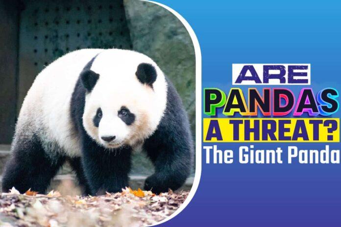 Are Pandas A Threat.